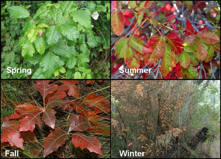 Spring, Summer, Fall, and Winter Poison Oak pictures. Nasty stuff for hikers and campers