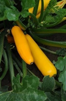 Courgette Easy Pick Gold Buy now   @ http://www.vegetableplantsdirect.co.uk/ourshop/prod_2484701-Courgette-Easy-Pick-Gold-F1.html