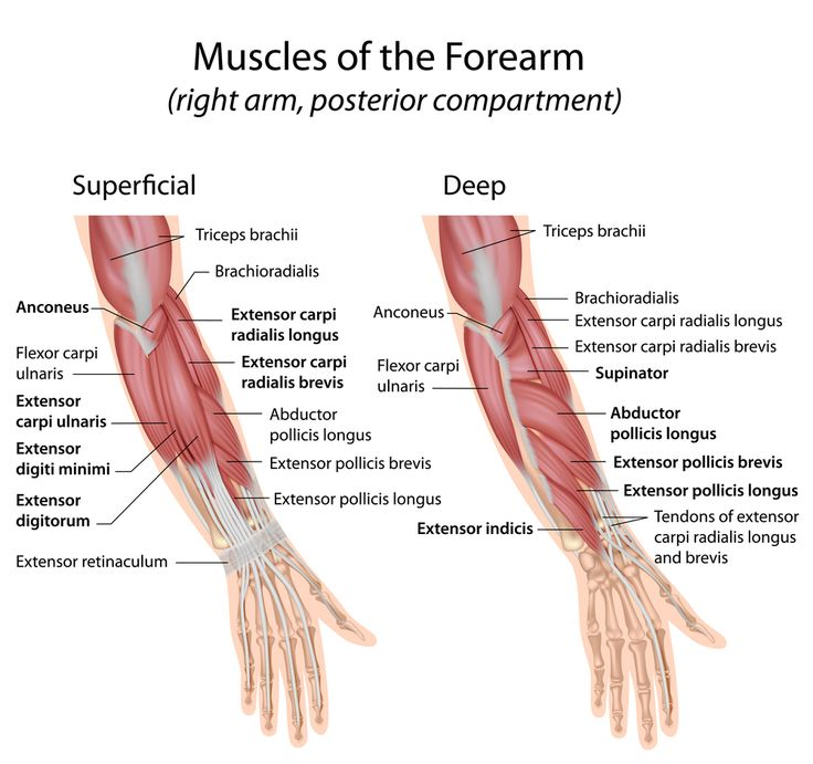 best 25+ muscles in forearm ideas on pinterest | arm workouts for, Human Body