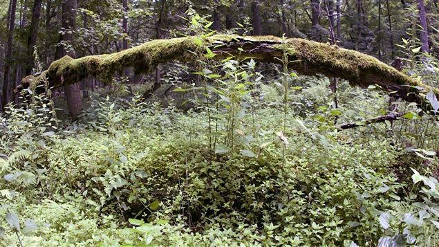 Selon les autorités polonaises, une colonie de scolytes, un insecte xylophage, met en péril les arbres sur le site.