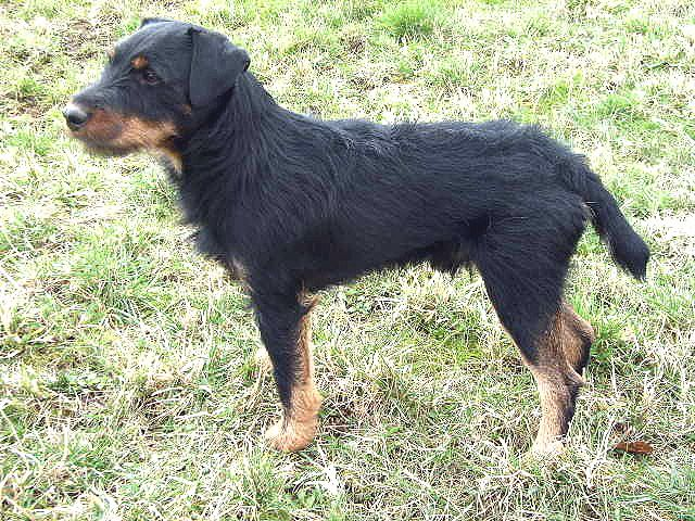 Jagd Terrier perhaps the best mountain dog there is... - Survivalist Forum