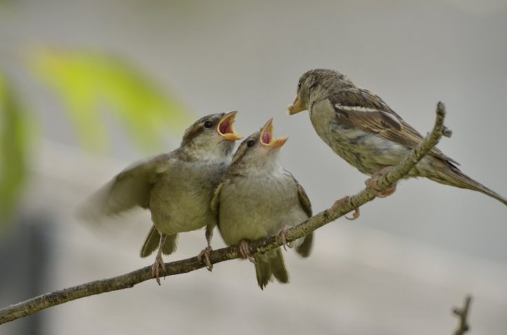 how to raise a baby sparrow