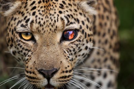 Blindeyed Leopard Photo by Wayne Wetherbee -- National Geographic Your Shot