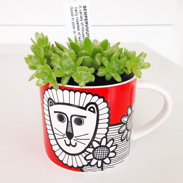 Another succulent in my Leo mug - I like the green with the red @makeinternational #succulentsinmugs #janefostermug #janefosterdesigns #leomug