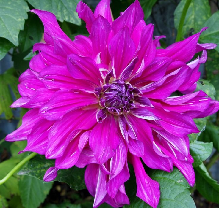 Dahlia Purple Taiheijo. It is so large, bigger than a dinner plate and takes a bit of staking so it's not really for me.
