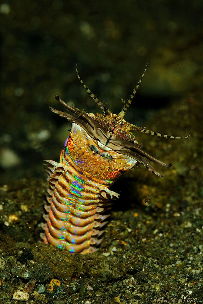 Eunice aphroditois--bobbit worm (aquatic, predatory, polychaete worm. It as has one of, if not the, longest bodies among the polychaete worms – their average length is one metre, and specimens measuring a whopping three metres have been discovered in the waters of the Iberian Peninsula, Australia and Japan.)