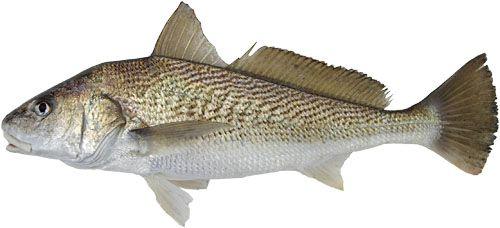 71 melhores imagens de peixes nossos no Pinterest