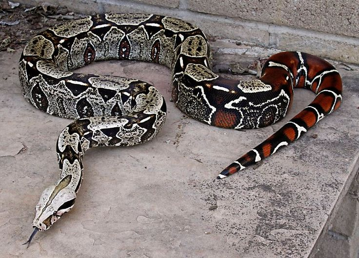 High contrast Suriname Boa constrictor. STUNNING!!