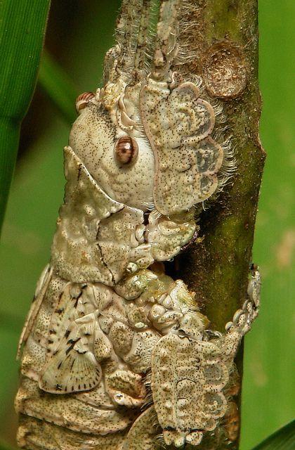 Katydid Nymph (Pseudophyllinae, Cymatomerini, Olcinia or Sathrophyllia sp.) by itchydogimages, via Flickr