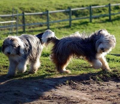 Bearded Collie Dogs| Bearded Collie Dog Breed Info & Pictures | petMD