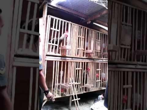 Keadaan Kandang Ayam Pelung PHC #PHC #pelunghobbiescimahi #pelung #ayampelung #ayamlokal #purwadaksi#sunda #hobby #endemik #jawabarat #unggas #budaya #rooster #chicken#backyard #infocimahi #cimahicity #cimahipunya #cimahibanget #cimahihitz#anniv2nd