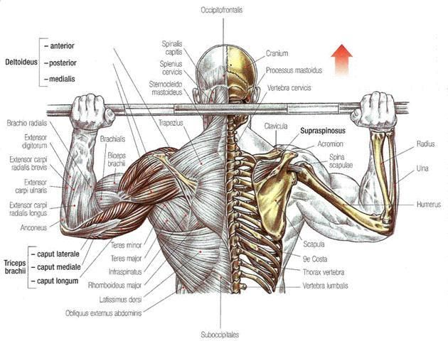SuppVersity EMG Series - M. Deltoideus, M. Infraspinatus, Supraspinatus and Teres Minor: The Very Best Exercises for Broad Shoulders and Capped Delts - SuppVersity: Nutrition and Exercise Science for Everyone