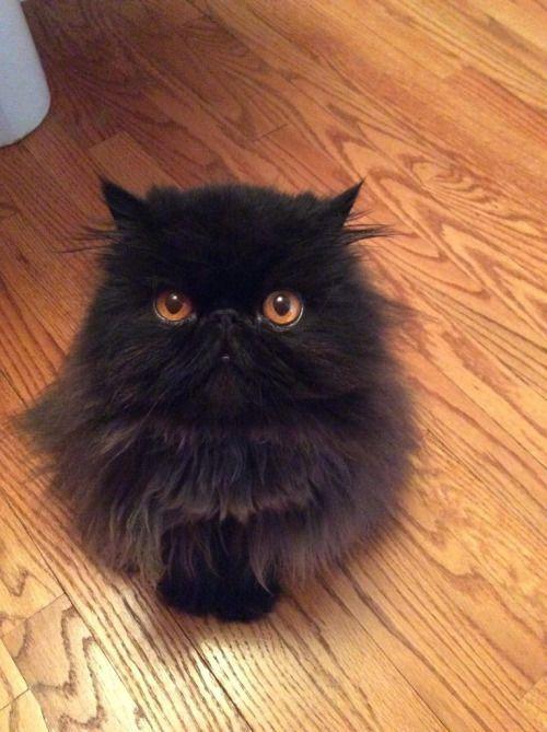 cute-overload:  Meet Vinnie, our black Persian cathttp://cute-overload.tumblr.com source: http://imgur.com/r/aww/EktYqqO