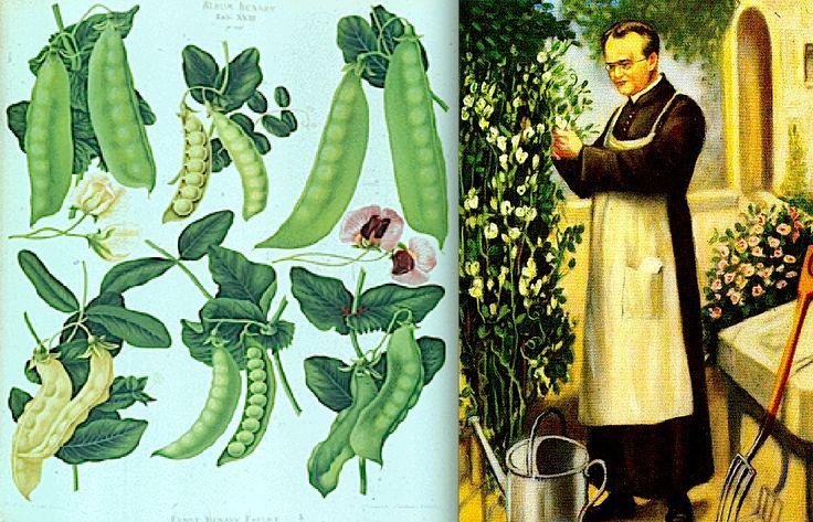4*Mendel realizou trabalhos com a polinização artificial de ervilhas (Pisum sativum), fez cruzamentos e analisou estatísticas de descendência. A ervilha foi escolhida por ser de fácil cultivo, ter caracteres bem definidos, autofecundação natural, gerações curtas.