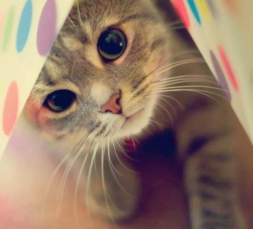 kitty: Polka Dots, Kitty Cat, Peek A Boos, Pets, Big Eye, Kittens, Cat Lady, Kittycat, Animal