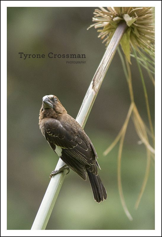 Thick Billed Weaver