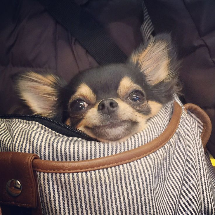 Chihuahua<<<why does this chihuahua look like a thirty year old man??<<<caNT BREATHE