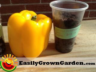 How to grow bell peppers from seed (from the grocery store)