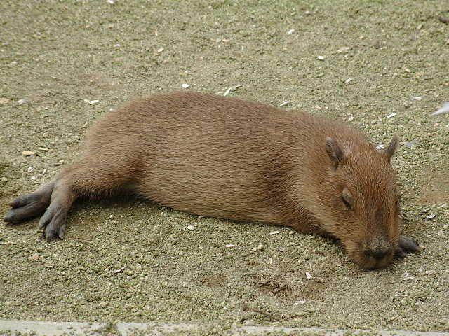 Capibara.. adorable
