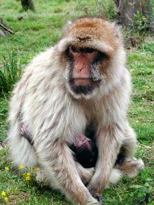 #Singe #Monkey #Affe #FarmAnimal #ZoodelaBoissièreduDoré #Zoo #Nantes #LoireAtlantique