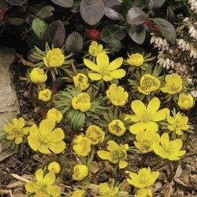 Eranthis cilicica (Turkisk Vintergäck)