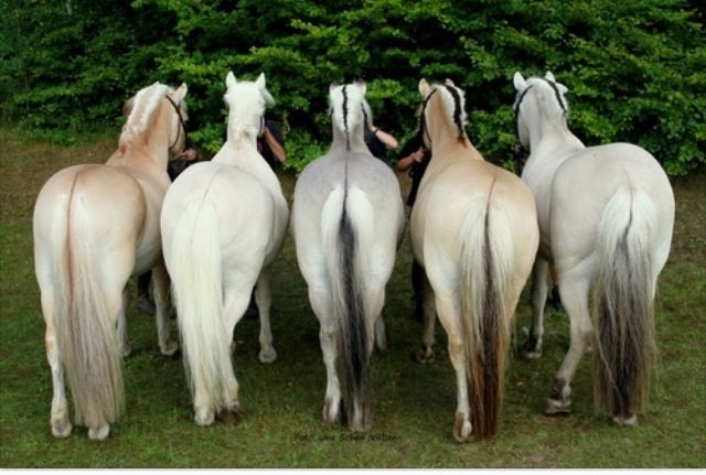 Fjord Horses:  left to right: red dun, yellow dun, grey, brown dun and uls dun (the last three with black hairs in the forelock, the mane, the dorsal stripe and the tail).