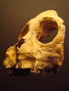 Aegyptopithecus face (University of Zurich)-2.JPG