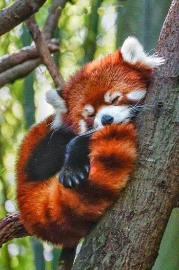 In Dreamland! A Red Panda sleeping in the tree-tops - what they do for majority of their days! http://en.wikipedia.org/wiki/Red_panda