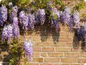 Wisteria Tree Care | How to Plant a Wisteria Tree | Brighter Blooms Planting Directions
