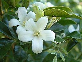 A murta-de-cheiro é um arbusto grande ou arvoreta, que pode alcançar até 7 metros de altura. Muito utilizada para a formação de cercas-vivas, a murta-de-cheiro apresenta ramagem lenhosa e bas...