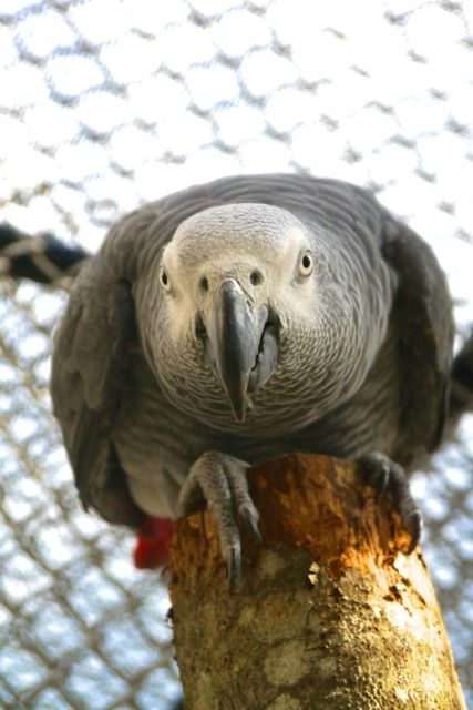 Lost African Grey Finally Reunites With His Man After Four Years. Now He's Bilingual. - http://www.parrotshop.org/lost-african-grey-reunites/