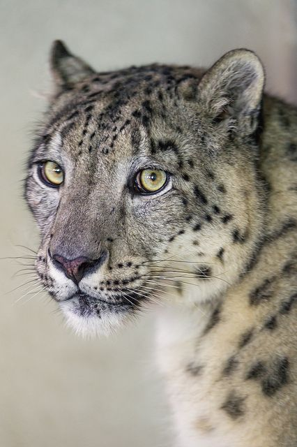 tigersandcompany: Portrait of Milla (by Tambako the Jaguar)