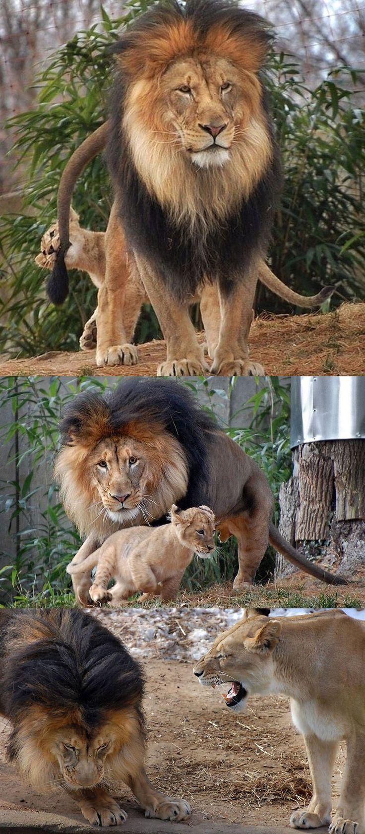 картинка лев кусает за хвост что нынешний сезон