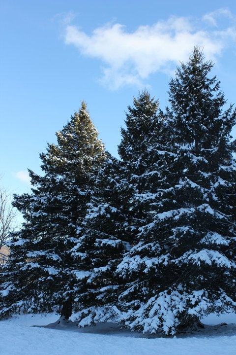 1000 images about pine and fir trees on pinterest snow - Images of pine trees in snow ...