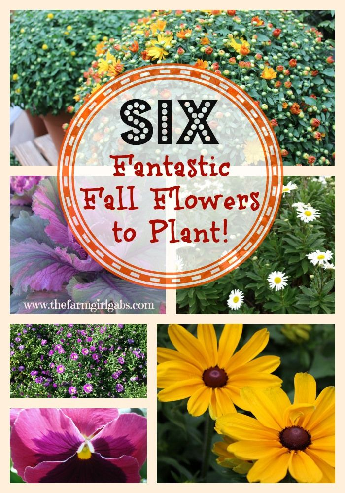 Six Fantastic Fall Flowers to Plant from How Does Your Garden Grow? {www.thefarmgirlgabs.com}