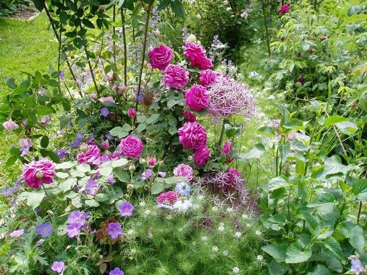Nigella, allium and hardy geranium as companions for an old bourbon rose, Madame de Sévigné
