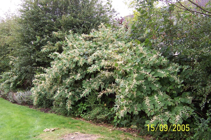Japanese knotweed in full flower.  See?  Pretty, yes?  BUT YOU DON'T WANT IT ANYWHERE NEAR YOUR PROPERTY!