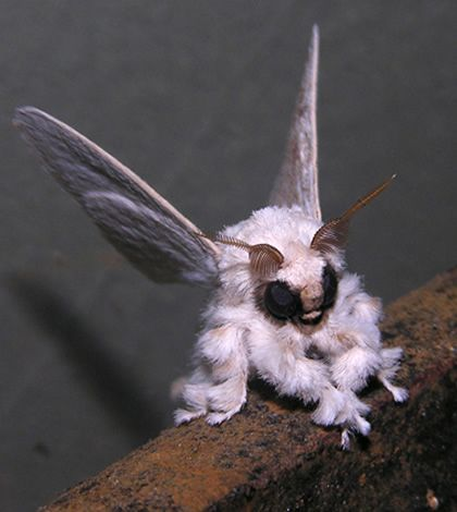 Venezuela Poodle Moth