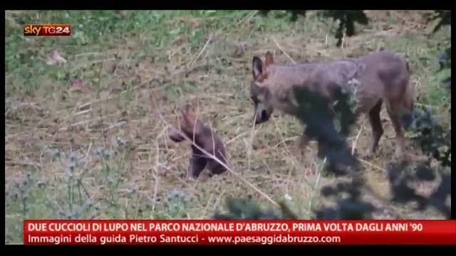 Due cuccioli di lupo nel Parco Nazionale d'Abruzzo