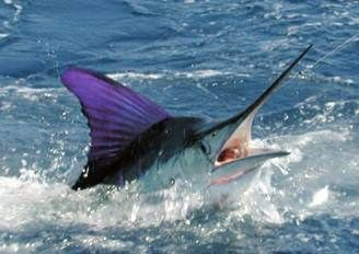 Sailfish Fishing with Conventional Tackle