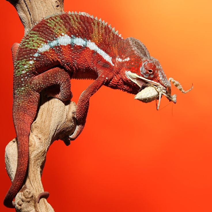Photo Chameleon Eating Creobroter Mantis by Scott Cromwell on 500px