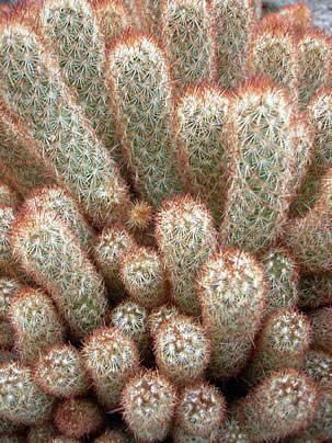 Mammillaria elongata, Cacto-dedo-de-moça, Dedo-de-moça, Dedos-de-dama, Mamilária, Cacto-dedo-de-dama