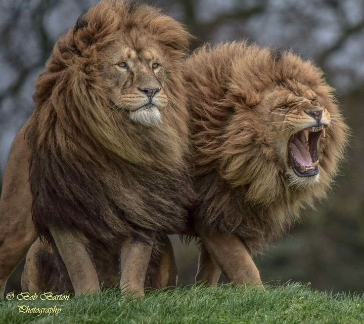 """Lion On The Right:  """"Keep Away From My Brother And I!""""   (Photo By: Bob Barton Photography.)"""