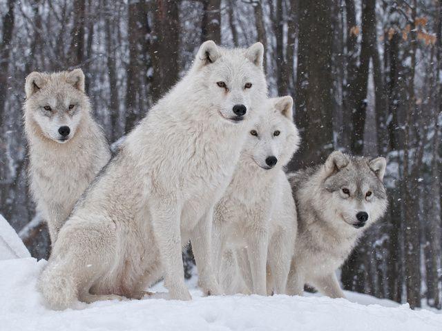 белые волки (640x480, 141Kb)