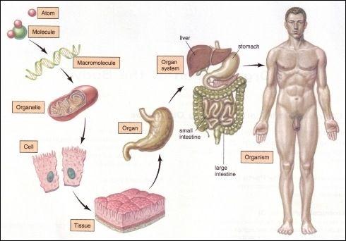 the basics parts of the organization Human body: human body form a large part of the body's bones organization of the body basic form and development.