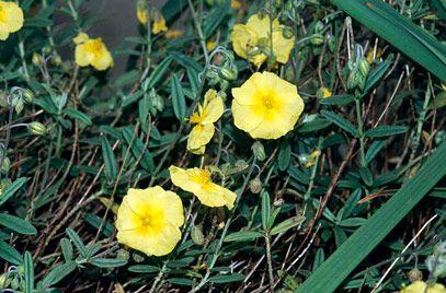 Helianthemum 'Wisley Primrose' - or Rockrose