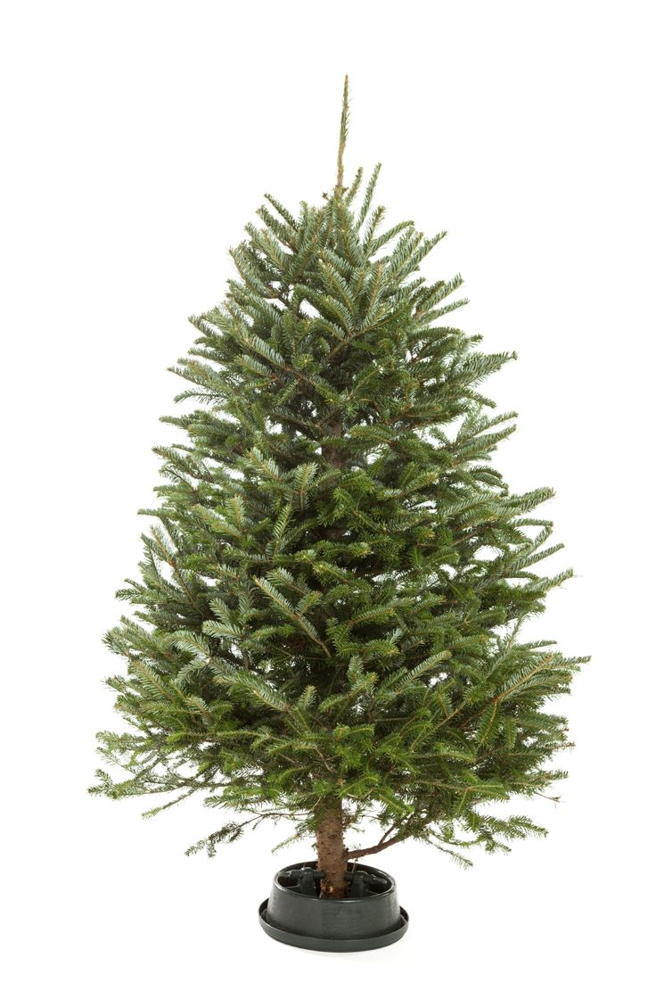 Christmas Tree Water Intake: Why A Christmas Tree Is Not Drinking - Christmas trees often take the blame for destructive fires that occur during the holiday season. The most effective way to prevent Christmas tree fires is to keep the tree well hydrated. This article will help with that.