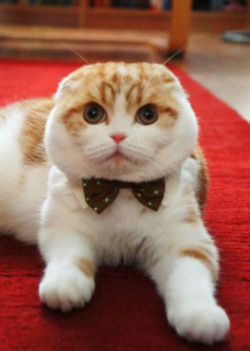 Daper fat faced kitty cat #scottish fold
