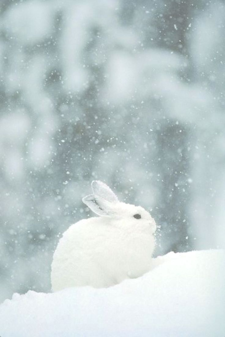 Winter *❄~*. Wishes & Dreams .*~❄* Snow Falling on Snowshoe Hare
