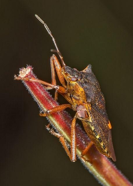Pentatoma rufipes (Shield Bug) | Flickr - Photo Sharing!